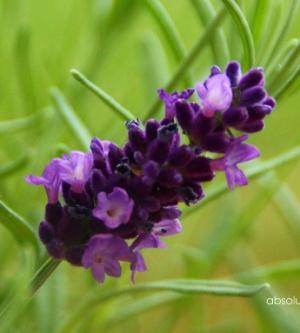 Lavendel – ein Wunder der Natur